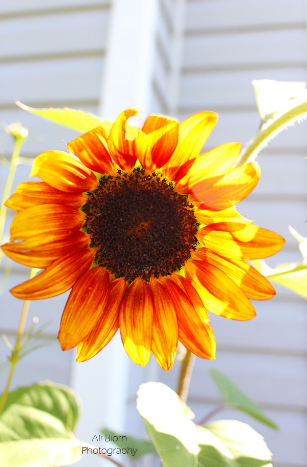 Sunflower with vibrant petals that mimic the color of the setting sun