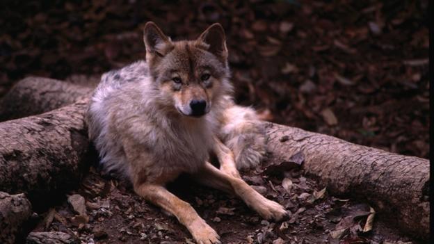 Rehabilitación Del Lobo Gris En Proceso: Un Fósil Hallado En Rusia Revela Detalles Sobre El Origen