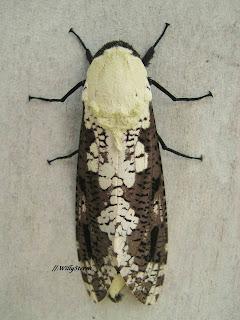 インドネシアからの蛾