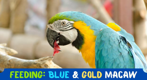how to feed Blue and Gold Macaw