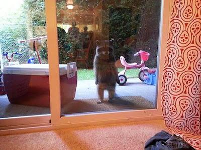 Mapache queriendo entrar a casa.