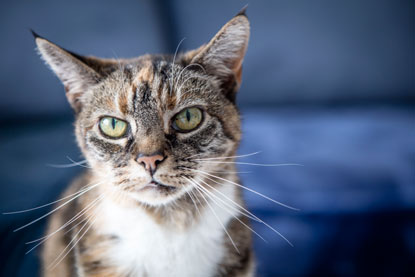 Older cat Simbi from Cats Protection's Rayleigh, Castlepoint & District Branch
