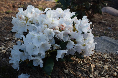 Rhododendron yakushimanum 'Mist Maiden'