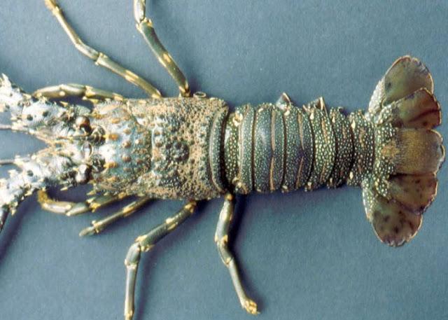 Mengenal Lobster Air Laut Dan Cara Budidayanya