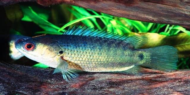 Cara mancing ikan betok, Climbing Gourami
