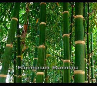 Bambu Dengan Ragam Keunikannya dan Mitos