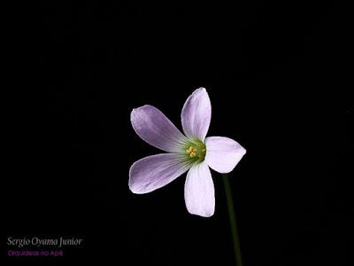 Floração - Oxalis triangularis