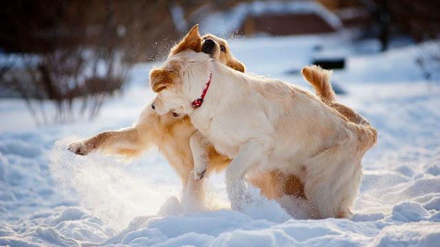 Common Symptoms of Dogs' Pregnancy