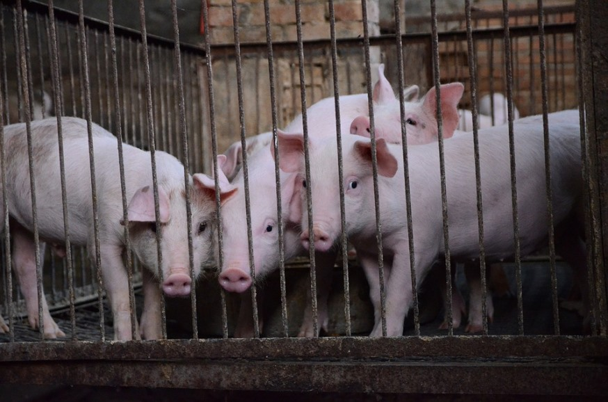 pig-farming-the safety of our food
