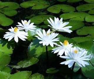 flor-de-lotus-branco-do-egito
