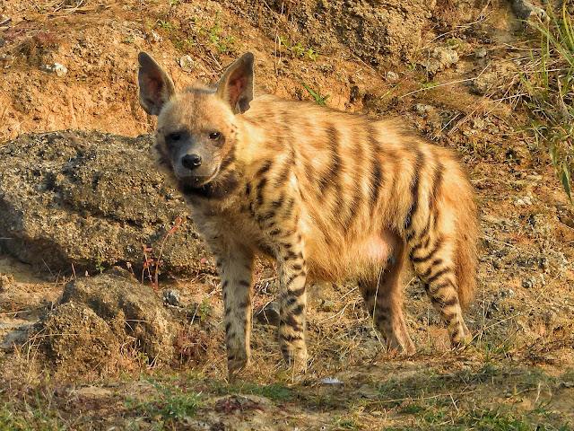 Striped Hyena on the Chambal River