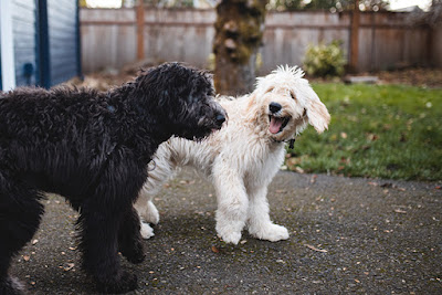 A fluffy black dog and a fluffy white dog are playing in a backyard