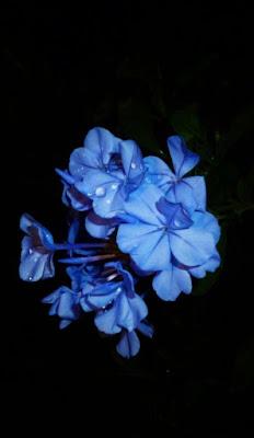 وردة زرقاء بلون خلاب جدا على خلفية سوداء رائعة