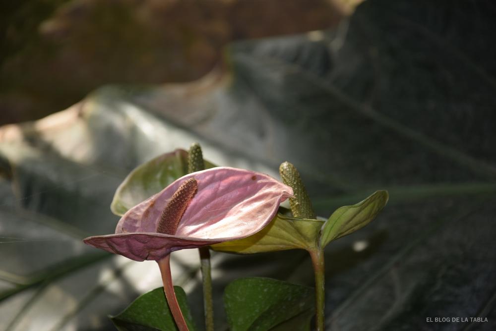 Detallde de la flor color rosado de la Costilla de Adán o  Monstera deliciosa