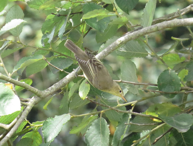 Icterine Warbler - St Marys, Scilly