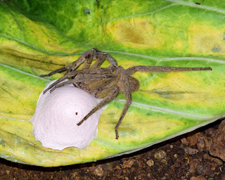 Wandering spider and egg sac in Costa Rica