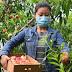 El durazno se cultiva en 40 municipios de Michoacán