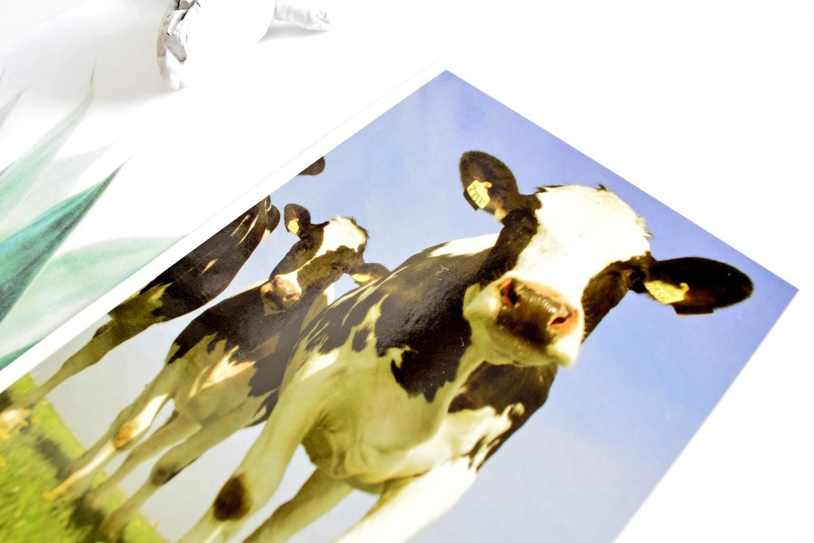 krowa jako symbol holandii