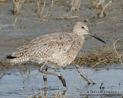 Western Willet. Photo © Shelley Banks, all rights reserved.