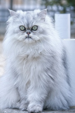 اسعار قطط شيرازي بيضاء