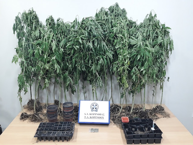 Εντοπίστηκε φυτεία με 33 δενδρύλλια κάνναβης στην Κορινθία