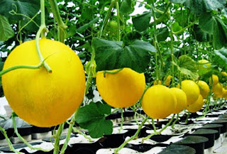 Benefits Of Golden Melon For Health - Healthy T1ps