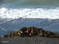 Kelp, a sea 'plant' - Kaikoura - South Island, New Zealand