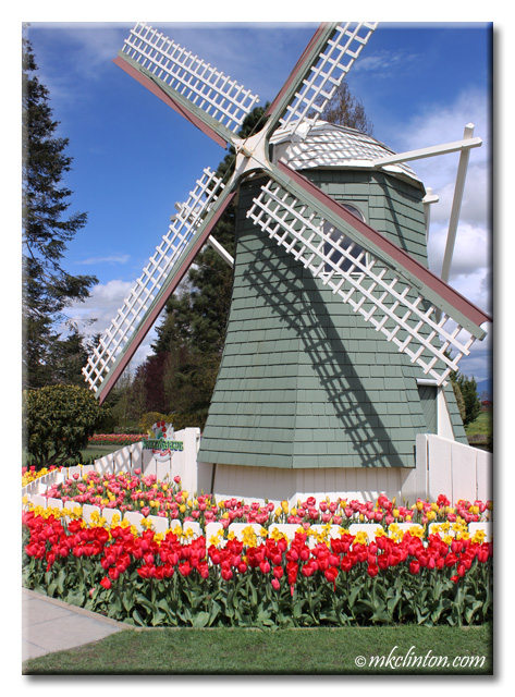 Windmill and tulips at Skagit Valley Tulip Festival