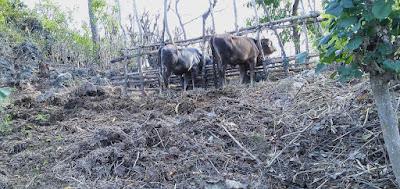 sapi di kebun warga