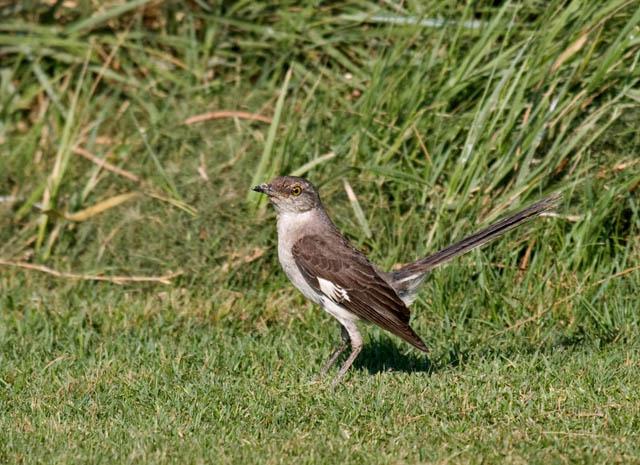 Common backyard birds of California (lists, photos, ID ...