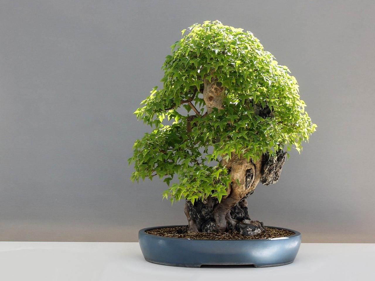 cara-membentuk-bonsai.jpg