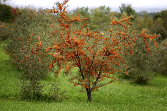 La d couverte de l 39 argousier - Tuer un arbre avec de l acide ...
