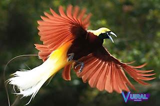Contoh Hewan Aves - Burung Cendrawasih