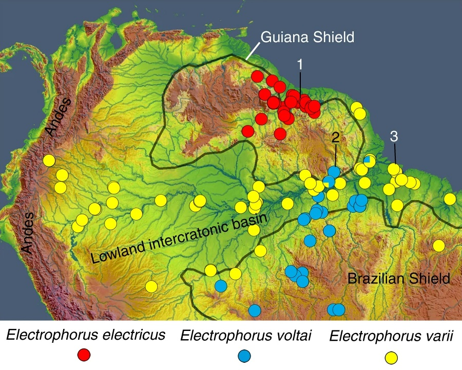 Map of northern South America showing distributions of sampled records and type localities (indicated by numbers) for three electric eel species: Electrophorus electricus (red dots, 1 = Suriname River, Suriname); Electrophorus voltai (blue dots, 2 = Rio Ipitinga, Brazil); and Electrophorus varii (yellow dots, 3 = Rio Goiapi, Brazil). Bicolor dots (blue/yellow) indicate sympatric co-occurrence of E. voltai and E. varii. The map was created in ArcGIS (https://www.arcgis.com) with images available at Shuttle Radar Topography Mission, Global Multi-resolution Terrain Elevation Data, and HydroSHEDS database.
