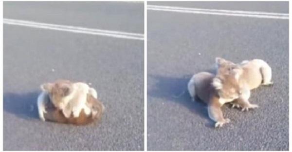 Девушка заметила посреди дороги пушистый комочек из играющих коал, ей чудом удалось их спасти от грузовика