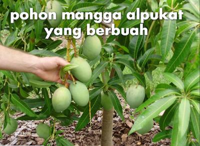 Cara Menanam Mangga