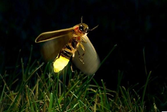 Ateş Böceği- A Hayvan