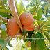 Bagaimana nak tahu buah ciku dah boleh di petik