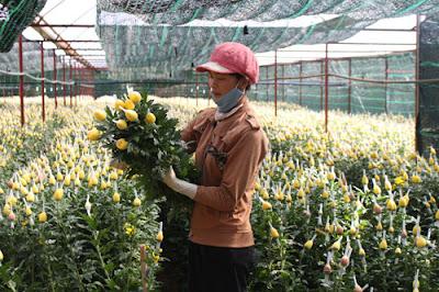 Thạc sĩ sinh học hiến kế cứu vườn hoa cúc khỏi bệnh virus