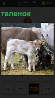 Около коровы стоит рядом теленок белого цвета с оттопыренными ушами и виноватым видом