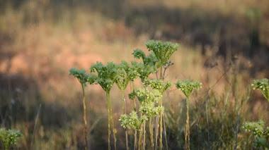 Sedum sediforme: cuando las flores también importan
