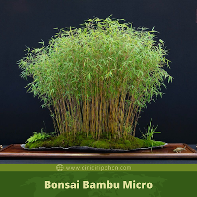 Bonsai Bambu Micro