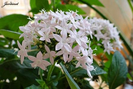 Show de estrelas flor