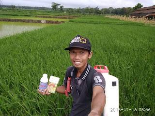 pemupukan padi organik nasa