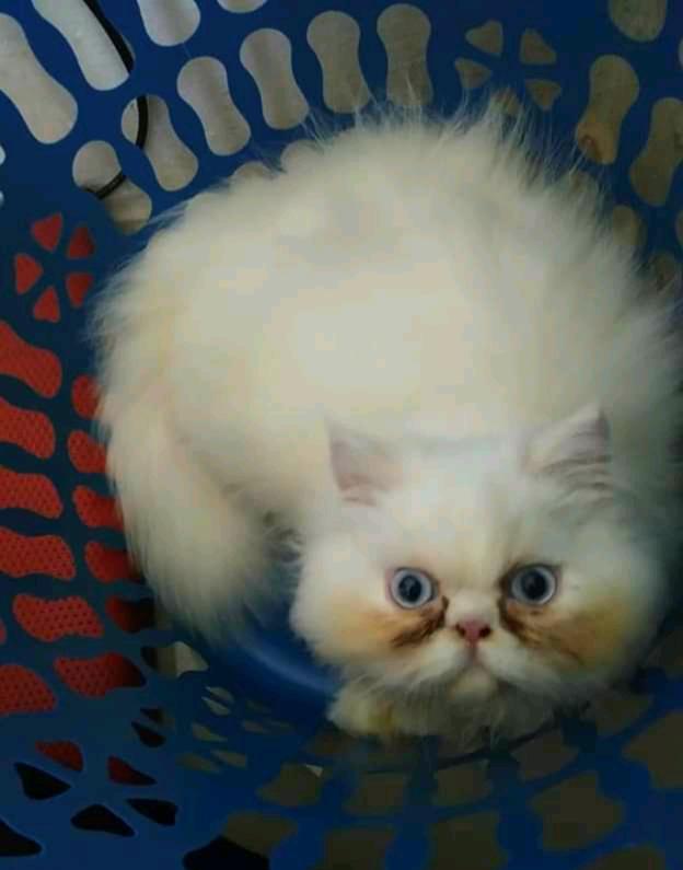 4 Perbedaan Anakan Kucing Kampung Dan Persia Idnfarmers