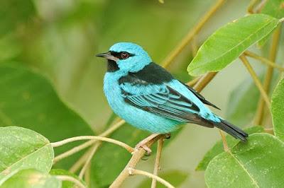 Blue Dacnis, sai azul, aves, aves do brasil, birds, birding Brasil, pássaros, mata atlântica, aves da mata atlântica, animal, natureza