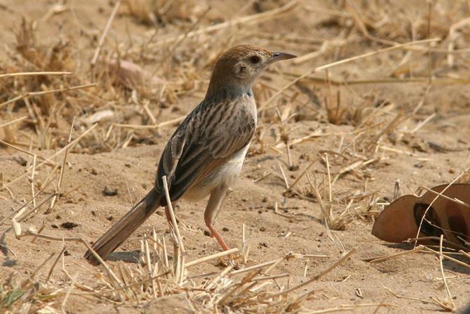 southafrican birds Cisticola