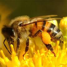 ong lấy phấn