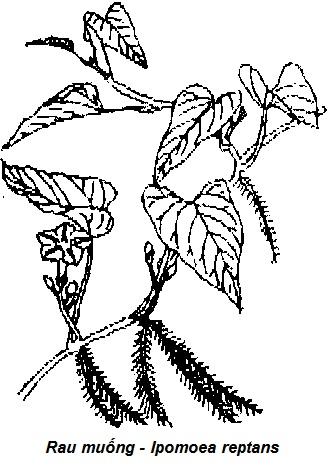Hình vẽ Rau muống - Ipomoea reptans - THÔNG TIỂU TIỆN VÀ THÔNG MẬT