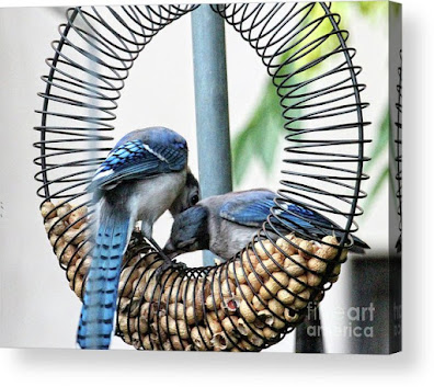 This is a screen shot of one of my images of Blue Jays which has been rendered on to acrylic and is available in different sizes via Fine Art America. https://fineartamerica.com/featured/blue-jays-wooing-1-patricia-youngquist.html?product=acrylic-print